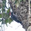 Nuttall's Woodpecker (Picoides nuttallii)