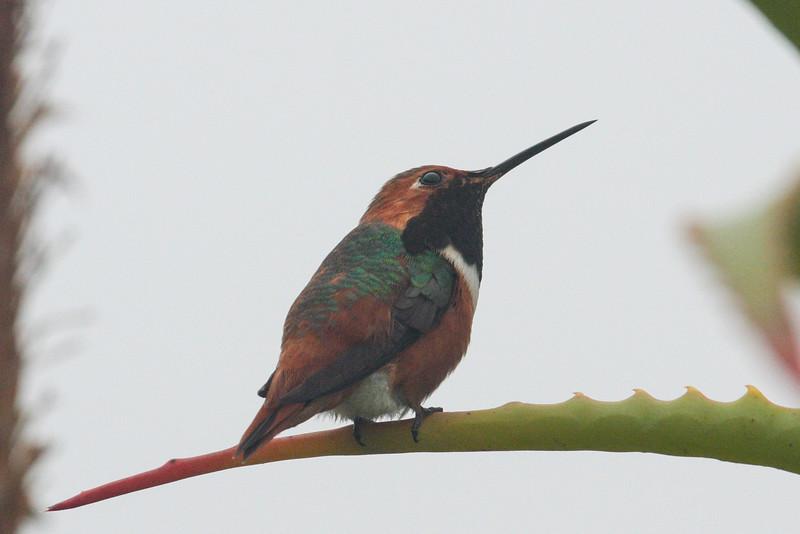 Selasphorus Hummingbird (Selasphorus sp.)