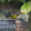 Wilson's Warbler (Cardellina pusilla)