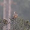 California Thrasher (Toxostoma redivivum)