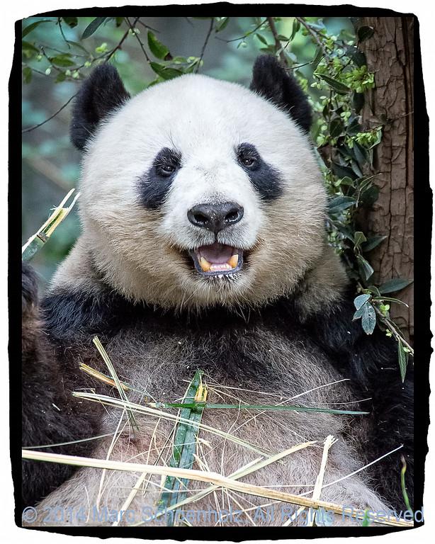 Giant Panda (New Mom)
