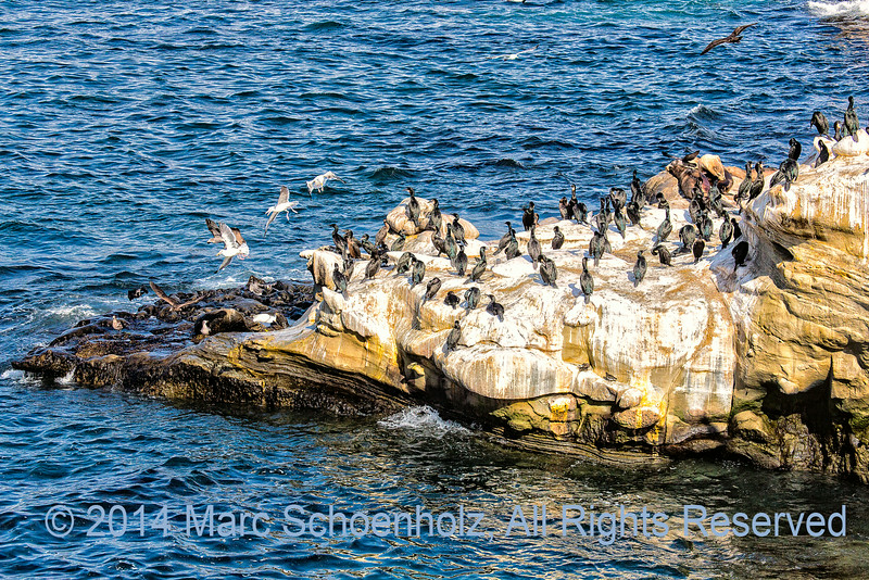 Masses of Cormorants Across Shoreline