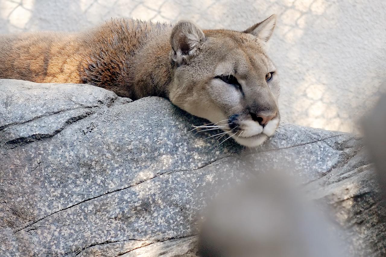 Panther, Puma,  Mountain Lion