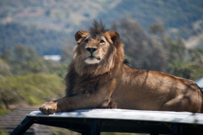 Lion sitting on top of a Land Rover at the San Diego Wild Animal Park. Wonder what it was looking at?