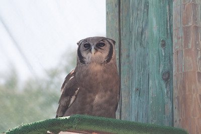 Owl at the San Diego Wild Animal Park