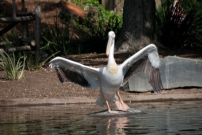 Pink backed pelican at the San Diego Wild Animal Park