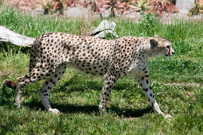 Cheetah looking for lunch at the San Diego Wild Animal Park