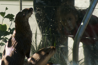 Otters watching humans watching otters