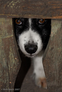 Dog peeking through fence