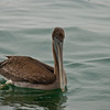 Closeup of pelican from our boat
