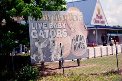 Live Baby Gators