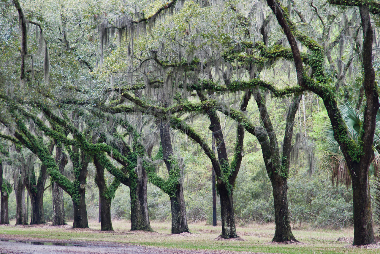The Oak Tree lined driveway into the Wormsloe Plantation is covered with Spanish moss.