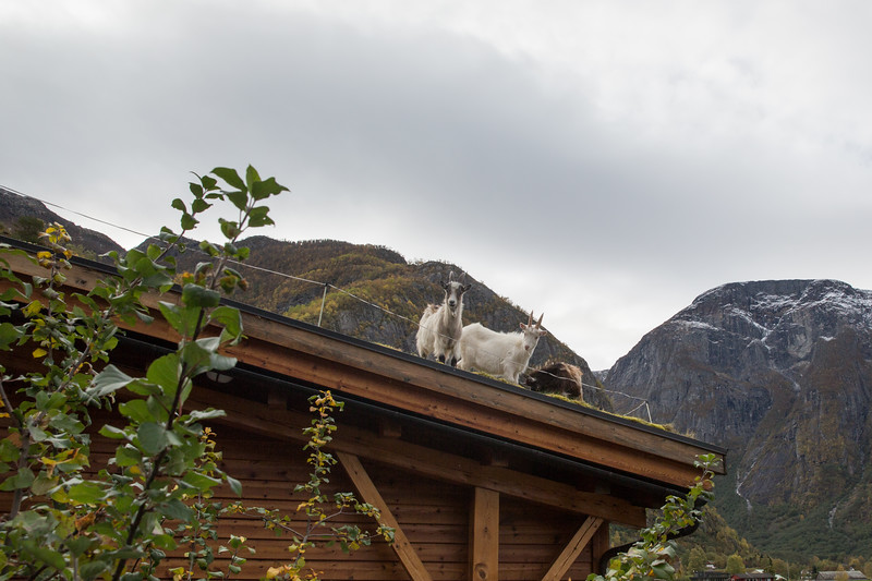 Rooftop Goats!