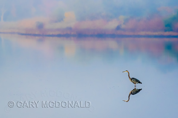 Great blue heron on a foggy day