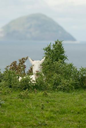 Goat near Ailsa Craig