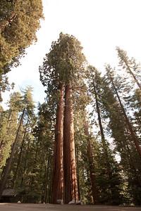 110911_Sequoia_22