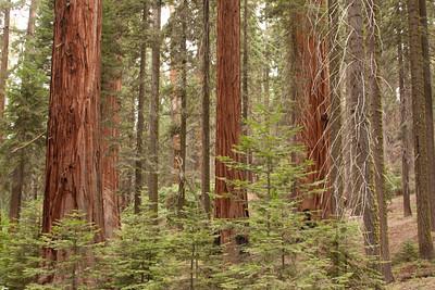 110911_Sequoia_3