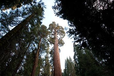 110911_Sequoia_25