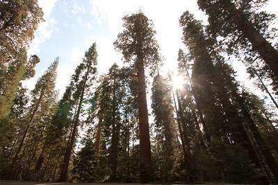 110911_Sequoia_21