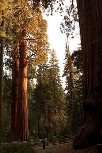 110911_Sequoia_30