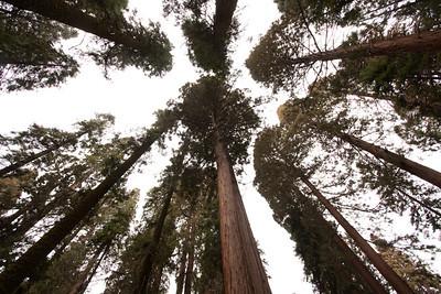 110911_Sequoia_4