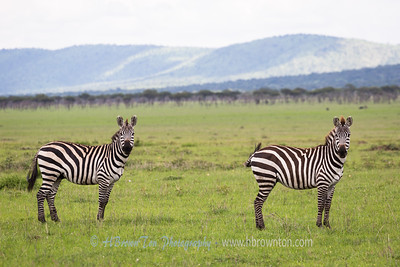 Seeing Double - Serengeti
