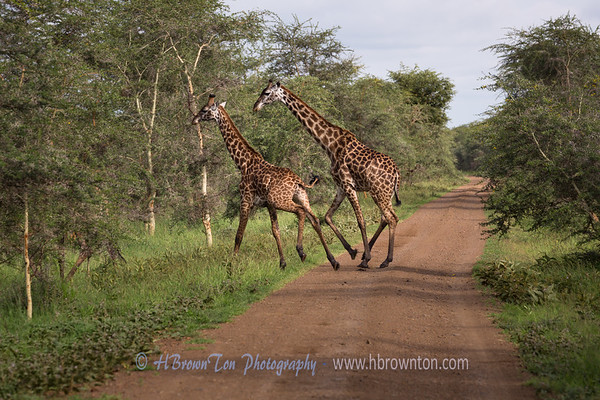 Giraffes in a Hurry -- Serengeti National Park