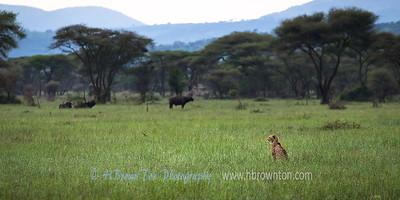 Cheetah on the Serengeti