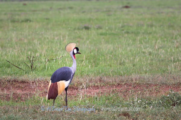 Colorful Crested Crane -- Serengeti