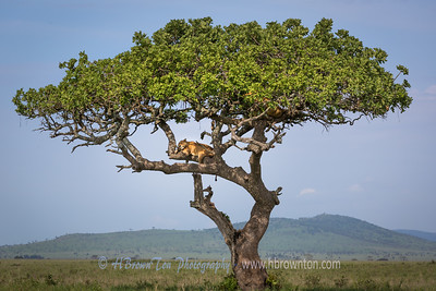 Lions Napping in Acacia Tree
