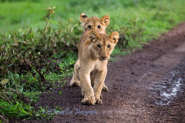 Lion Cubs -- Serengeti