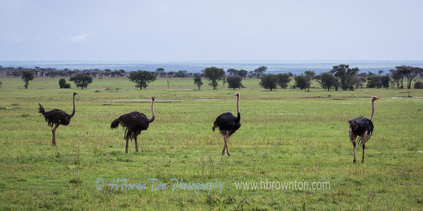 Ostriches of the Serengeti