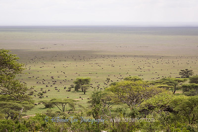Wildebeests, as far as the eye can see... -- Serengeti National Park