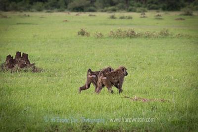 Serengeti Baboons