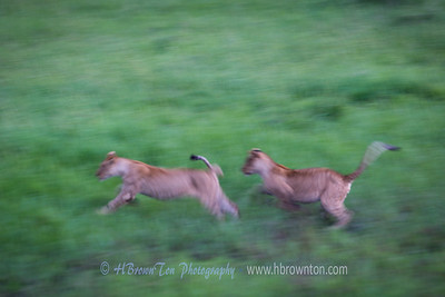 Lion Cubs playing at dusk -- Serengeti National Park