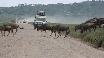 Wildebeest Migration -- Serengeti National Park