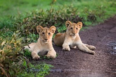 Curious Lion Cubs -- Serengeti, Tanzania