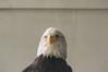 shaver's creek bald eagle inquisitive-3