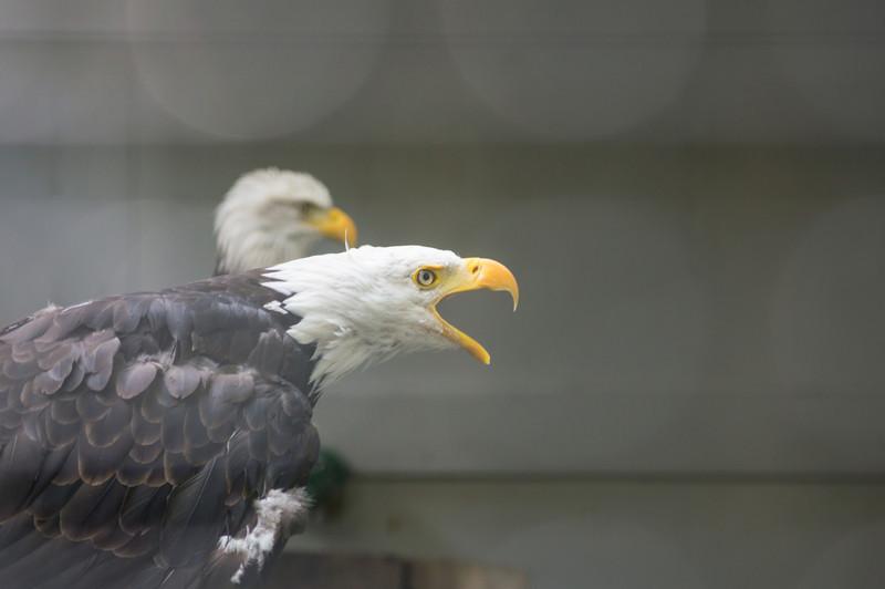 shaver's creek bald eagle scream