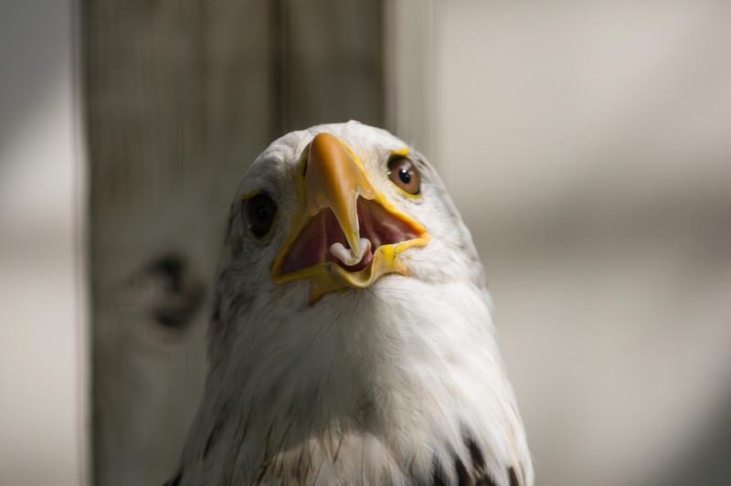 shaver's creek bald eagle meme worthy look