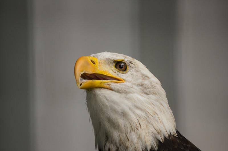 shaver's creek bald eagle inspired