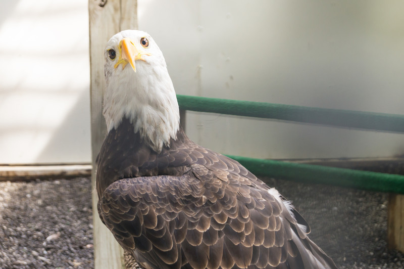 shaver's creek bald eagle inquisitive-5