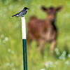 A young calf watching the Eastern Kingbird and me.