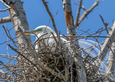 Great Egret Sitting on Nest