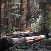 Nedler Grove of Giant Sequoias
