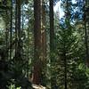 Nedler Grove of Giant Sequoias