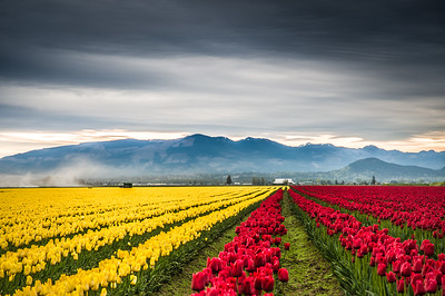 Skagit Valley Tulips Fields
