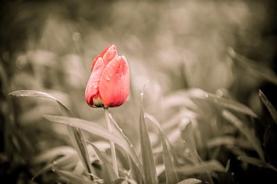 Skagit Tulips 2014