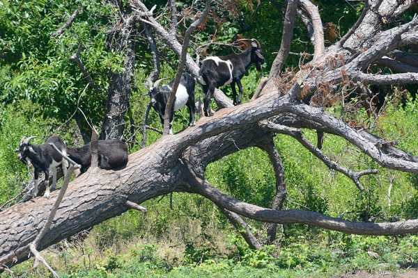 Goats up a tree.  Don't ask.  I have no idea either.