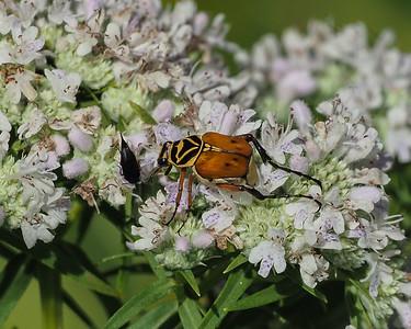 Delta Flower Scarab (Trigonopeltastes delta)